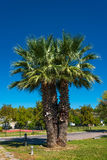 Date palm tree in front of blue sky Royalty Free Stock Image