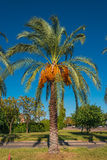 Date palm tree in front of blue sky Stock Image