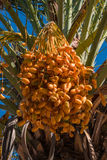 Date palm tree in front of blue sky Stock Photography