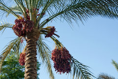 Date palm tree. With fruits against the blue sky Royalty Free Stock Images