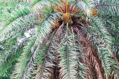 Date on palm tree Green beautiful. Long Trunk Date Palm Tree.Dates on a palm tree.Dates palm branches with ripe dates.Bunch of bar. Hi dates fruits growing on stock photo