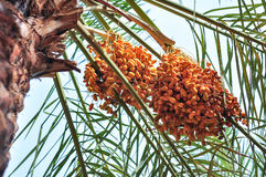 Date Palm Tree. This image was taken in Riyadh, Saudi Arabia. Date is one of natural arabic food, very healthy Stock Images