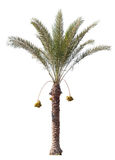 Date-palm tree isolated on white stock photos