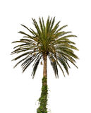 Date palm tree Royalty Free Stock Photography