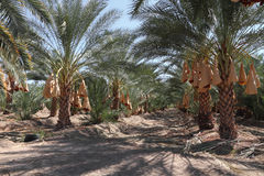 Date palm tree orchard Royalty Free Stock Photos
