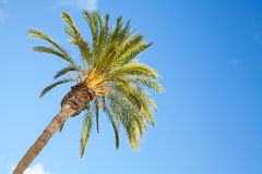 Date palm tree over blue sky Royalty Free Stock Image
