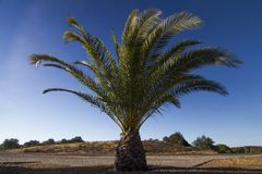 Date Palm Tree (Phoenix dactylifera) Stock Photography