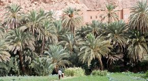 Date palm tree Plantation Stock Photo