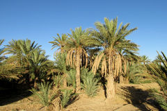 Date palm tree plantation Royalty Free Stock Images