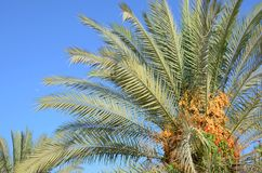 Date Palm tree Stock Image