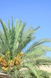 Date Palm tree Royalty Free Stock Photo