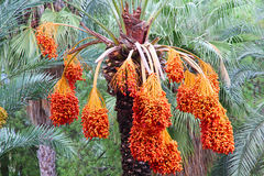 Date palm tree with ripe fruits. Royalty Free Stock Photo