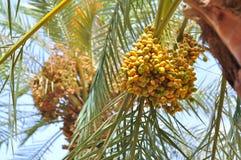 Date Palm Tree. This shot was taken in Riyadh, Saudi Arabia Stock Photos