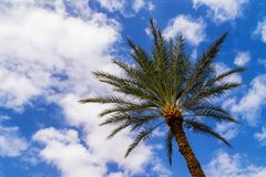 Date palm tree with sky in background. Bottom view of date palm tree Phoenix dactylifera with sky and fluffy clouds in background. Shot in Eilat, Israel. Summer Royalty Free Stock Photography