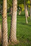 Date palm tree trunk Stock Image