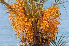 Date palm tree with unripe colorful fruit clusters Royalty Free Stock Photos