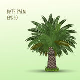 Date palm tree Royalty Free Stock Photos