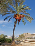 Date palm tree in Yaffo, Israel Royalty Free Stock Photo