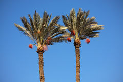 Date-palm trees Royalty Free Stock Photos