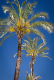 Date Palm Trees. Colourful shot of a few date palm trees shot against cloudless deep blue sky Royalty Free Stock Photos