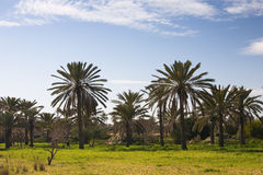 Date Palm Trees Stock Photography