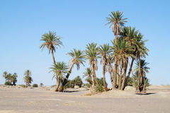 Date palm trees in Africa oasis. Date Palm trees in desert oasis, tropical trees, blue sky with clouds, beautiful scenery sunny day. African landscape, Sahara Royalty Free Stock Photos