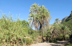 Date palm trees in Africa Royalty Free Stock Photo