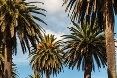 Date palm trees Royalty Free Stock Image