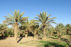 Date palm trees agriculture Stock Photo