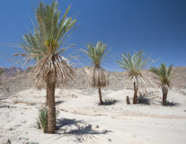 Date palm trees in a desert valley Stock Image