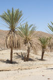 Date palm trees in a desert valley Stock Photos