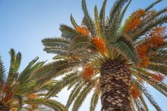 Date palm trees with edible sweet fruits Stock Image