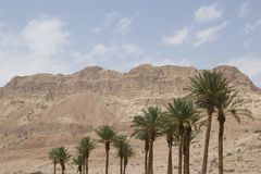 Date palm trees, En Gedi oasis, Israel. En Gedi oasis, close to the shore of the Dead Sea, Israel stock photography