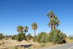 Date palm trees near the asphalt road Stock Images