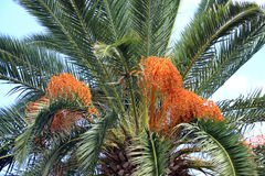 Date-palm trees Royalty Free Stock Images