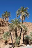 Date palm trees (Phoenix dactylifera) Royalty Free Stock Image