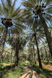 Date palm trees Stock Images