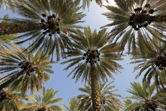 Date palm trees. Date palm plantation in Oman Royalty Free Stock Photography