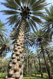 Date palm trees Royalty Free Stock Images
