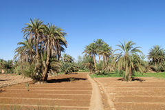 Date palm trees in plow stock image