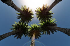 Date Palm Trees and sun shining, low angle, stock footage Stock Image