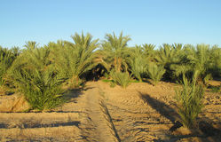 Date palm trees in tropical farm Royalty Free Stock Images