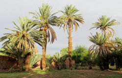 Date palm trees in tropical farm Stock Images