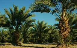 Date Palm Trees, Yuma, AZ, USA Royalty Free Stock Photography