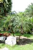 Date palm Royalty Free Stock Images