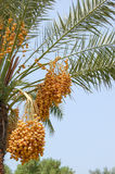 Date palm yield (Phoenix dactylifera). United Arab Emirates Stock Photos