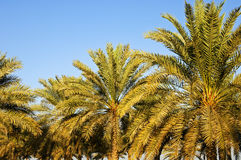 Date palmes. Palmfrond, pinnate leaves of the Date Palm Royalty Free Stock Photography