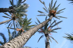 Date palms 01 Stock Photography