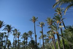 Date palms 02 Stock Images