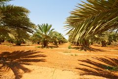 Date Palms Stock Images